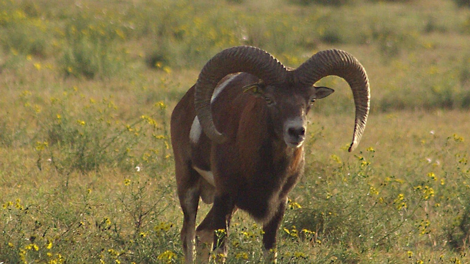 Iberian Mouflon Sheep